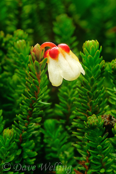 156680002 a wild moss heather cassioppe stelleriana puts forth a diminutive bloom among a field of green grasses in hatcher pass alaska