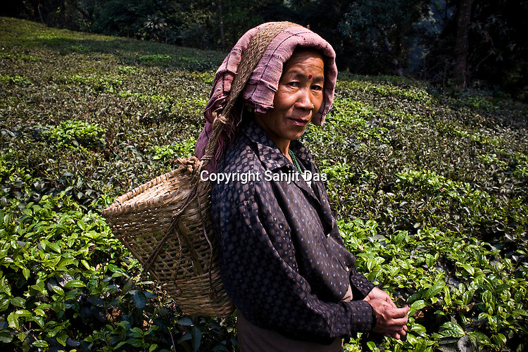 Pushpa Chettri, a 49 year old tea picker poses for a photograph while picking the first flush tea leaves at the Makaibari Tea estate, in Darjeeling, India. Photographer: Sanjit Das/Panos.