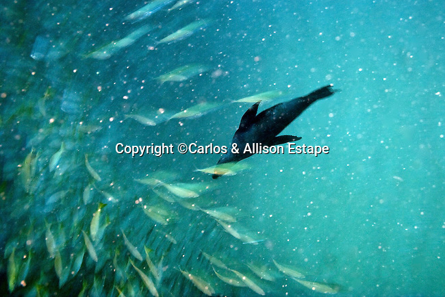 Sea Lion hunting off Cabo San Lucas point