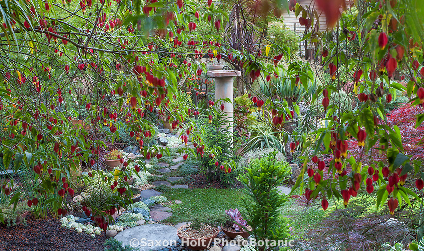 View of backyard garden through Abutilon megapotanicum, Chinese Lantern flowering shrub in California plant collector garden - Carol Brant