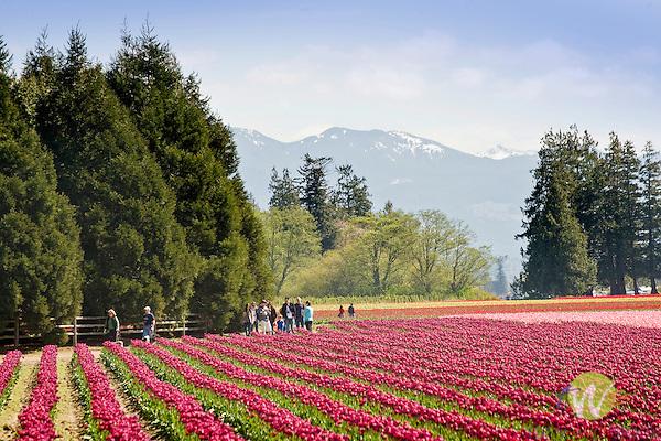 Roozengaarde Tulip Bulb farm, Mount Vernon, WA. Mount Baker in background.