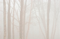 Trees in fog along North Shore of Lake Superior