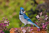 Blue Jay (Cyanocitta cristata) with peanut  in backyard garden. Hydrangea flowers. Autumn. Nova Scotia, Canada.