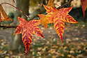 Autumn foliage of Liquidambar styraciflua 'Lane Roberts', early November.