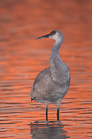 Sandhill Crane (Grus canadensis) and fire orange glow from reflected sunlight at dawn
