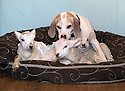 "21/04/15<br /> <br /> Draughtsman licks the young lambs.<br /> <br /> Two 'sheep dogs' are helping to pamper three orphaned lambs who think the dogs are their mum.<br /> <br /> The three orphaned  lambs, who wear nappies so they can have the run-of-the-house, like to snuggle up to the dogs and share their bed with them in the kitchen by the stove.<br /> <br /> Piper, an 11-year-old rhodesian ridgeback-cross and Draughtsman, an eight-year-old ex-hunting beagle, take turns looking after the week-old lambs who often try to suckle from their doting canine 'parents'.<br /> <br /> Melissa Ebbatson, 21, said: ""These three were quite poorly, so we brought them inside so we could look after them better and give them a bit more warmth. We put them in nappies so they don't make a mess in the house.  One of the dogs was having a snooze on his bed and the lambs just jumped in and joined him. And they've all become inseparable since then.<br /> <br /> ""The dogs like to clean the lambs' faces after they've had their bottles. And they enjoying romping around the place with them,"" said Melissa who helps to run Crossgates Farm, with her family near Tideswell in the Derbyshire Peak District.<br /> <br /> ""They seem to really care about them and go straight to them if they start bleating – they even come to find us if they think they're hungry.<br /> <br /> ""We change their nappies at least four-times-a-day - the baby boys even need to wear two!<br /> <br /> ""They are between seven and eight days old, and we hope to get them living back outside again when they are strong enough in another ten days or so – that's as long as the dogs let us!<br /> <br /> ""We're probably all a bit bonkers here but it all seems normal to us"", she added.<br /> <br /> All Rights Reserved: F Stop Press Ltd. +44(0)1335 418629   www.fstoppress.com."