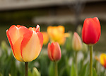 1604-16 427<br /> <br /> 1604-16 GCS Spring Flowers and Blossoms<br /> <br /> BYU Campus Spring<br /> <br /> April 8, 2016<br /> <br /> Photo by Jaren Wilkey/BYU<br /> <br /> &copy; BYU PHOTO 2016<br /> All Rights Reserved<br /> photo@byu.edu  (801)422-7322