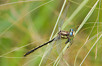334060004 a wild female oklahoma clubtail gomphus oklahomensis perches on wild grass stems in the sam houston national forest in san jacinto county in east texas