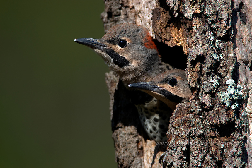 Two Northern Yellow-Shafted Flicker, Colaptes auratus, chicks listen to their parents as they prepare to fledge.