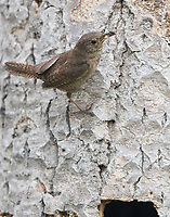 A House Wren prepares to deliver an insect to its young waiting in the nest.