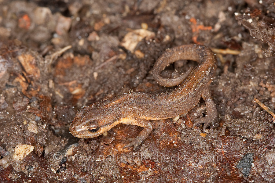 Teichmolch, Jungtier, Teich-Molch, Molch, Molche, Triturus vulgaris, Lissotriton vulgaris, Smooth Newt, Common Newt