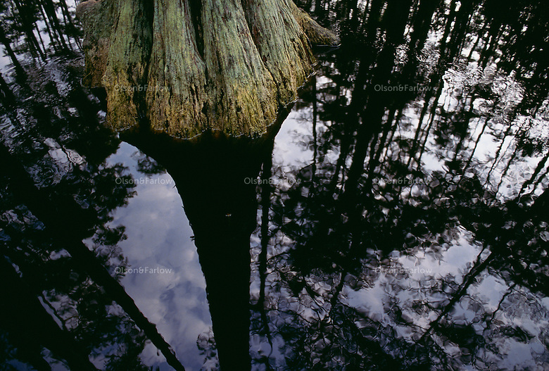 Towering bald cypress trees are relfected in black waters of Billys Lake in the Okefenokee Swamp.
