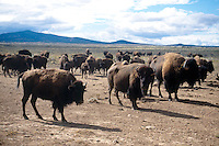 MAMMALS<br /> Buffalo - American Bison<br /> Arizona