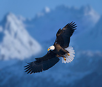 DIGITAL COMPOSITE (sky added) Bald Eagle spreads wings while flying through the Kenai mountains near Homer, Alaska.