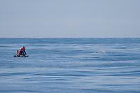 Wissenschaftler, Forscher wollen einen auftauchenden Pottwal, Pott-Wal, Pott - Wal vom Schlauchboot aus mit einem Sender markieren, Andenes, Nord - Norwegen, Physeter macrocephalus, Physeter catodon, Potwal, Cachalot, Kaschelot sperm whale, great sperm whale, cachalot