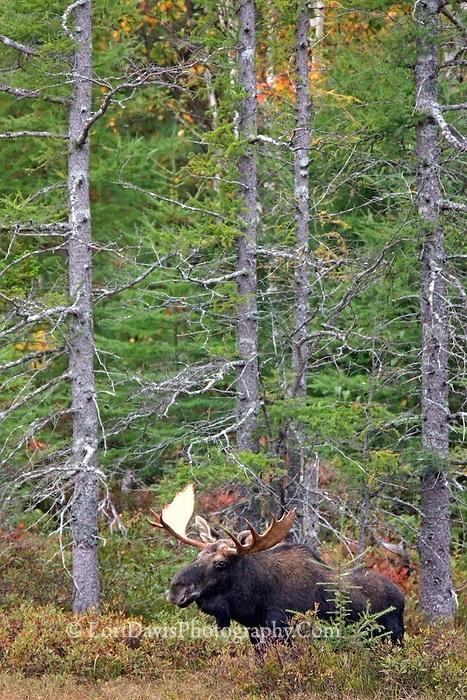 #M37 Bull Moose in Trees