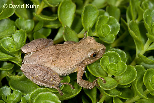 0809-0903  Spring Peeper Frog Climbing on Green Sedums, Pseudacris crucifer (formerly: Hyla crucifer)  © David Kuhn/Dwight Kuhn Photography