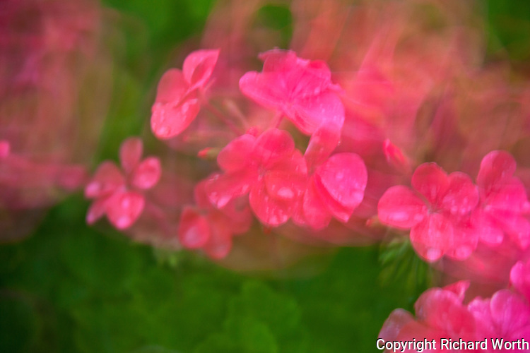 Dream-like petals of geranium flowers in what could be anyone's garden after a spring shower.