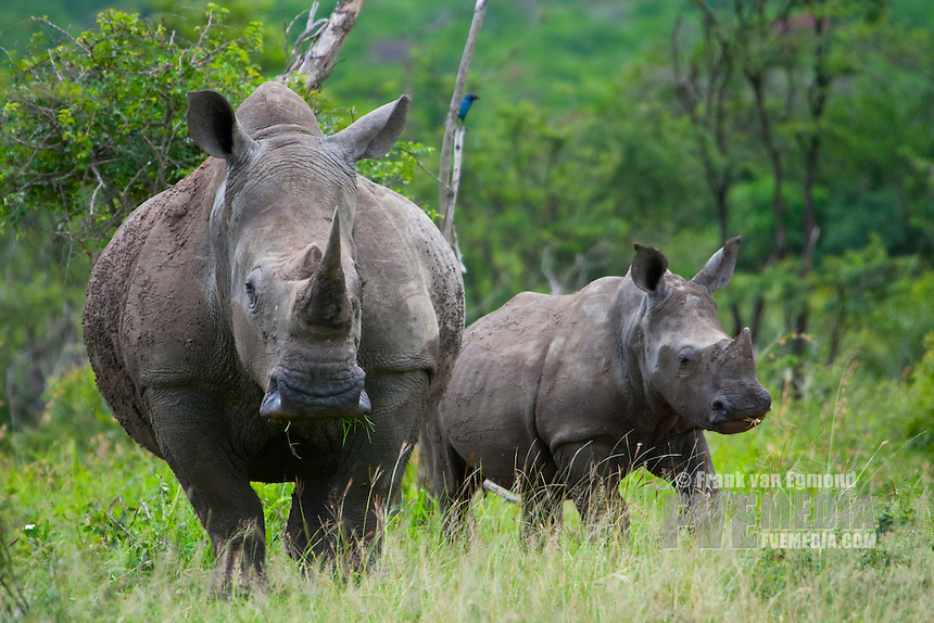 White Rhinoceros adult and calf..(Ceratotherium simum).Summer. Conservation status: Near Threatened..Hluhluwe Imfolozi Game Reserve, Kwazulu Natal, South Africa.