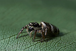 Zebra Jumping Spider, Salticus scenicus, can jump up to 4 inches, black and white stripes. .United Kingdom....