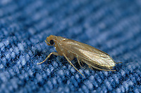 Kleidermotte, Kleider-Motte, Motte, Motten, Mottenbefall, Tineola bisselliella, common clothes moth, webbing clothes moth, clothing moth, Case-bearing clothes moth, Case Bearing Carpet, Case Making Clothes Moth, Clothes Moth, Clothes Moths