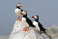 Atlantic Puffin Trio on Rock  #P47