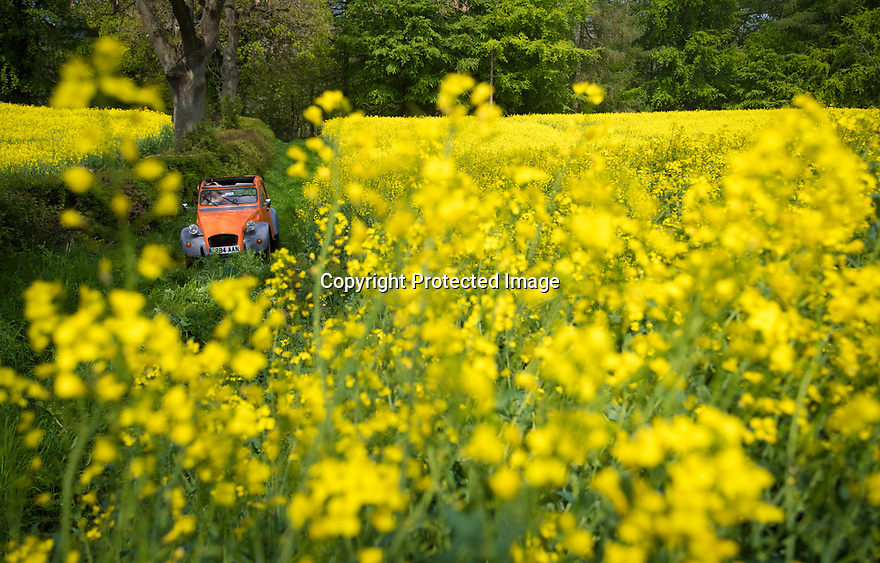 30/04/19<br /> <br /> Enjoying the spring sunshine, with the roof down and wearing her sun-hat, a woman drives a bright orange classic Citroen 2CV up a farm track between fields of yellow rapeseed on the edge of the Peak District near Ashbourne, Derbyshire.<br /> <br /> All Rights Reserved, F Stop Press Ltd +44 (0)7765 242650  www.fstoppress.com rod@fstoppress.com