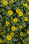 Sunbini improved Creeping Zinnia, Sanvitalia speciosa