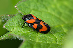 Red-and-black Froghopper, Cercopis vulnerata, Bonsai Bank, Denge Woods, Kent UK, one of the largest homopterans