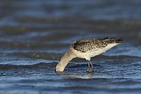 Black-tailed Godwit - Limosa limosa