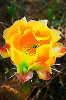 FRAGILE PRICKLY PEAR BLOOM