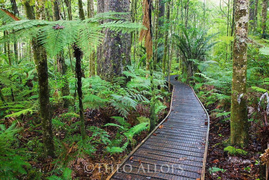Wooden boardwalk in Kauri forest, Trounson Kauri Park, Northland, North Island, New Zealand