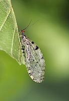 Giant Lacewing - Osmylus fulvicephalus