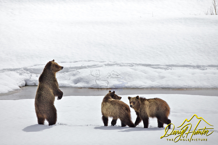 Grizzly checking for danger in Grand Teton National Park