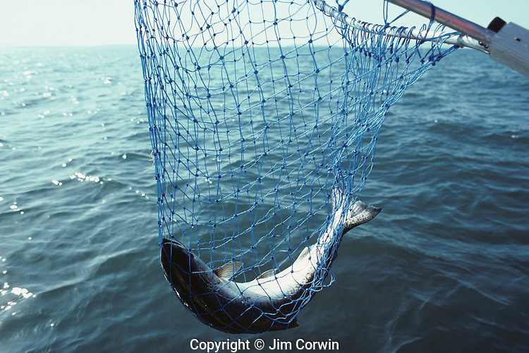 Fishing for salmon in the San Juan Islands with salmon caught and scooped up in fishing net, Washington State USA