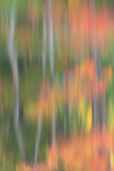 Autumn trees reflected in pond, abstract, New York, USA