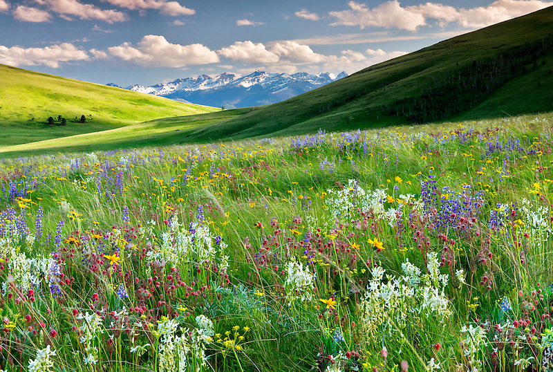 Wildflowers on Zumwalt Prairie with Wallowa Mountains, Oregon