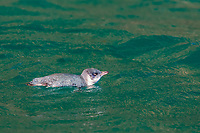 little penguin, Eudyptula minor, in calm seas off Akaroa, South Island, New Zealand