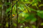 Golden-collared Manakin<br /> (Manacus vitellinus) male, Mamoni Valley, Panama