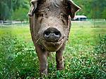 8.18.10 - Here Piggy, Piggy...