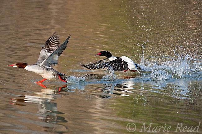 Common Merganser (Mergus merganser), male (right) splashing through water in pursuit of female (left), New York, USA