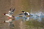 Common Merganser (Mergus merganser), male (right) splashing through water in pursuit of female (left), New York, USA