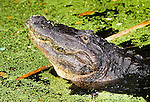 USA, Florida, Alligator