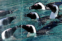 Penguins in the water reflected on the side of the tub .<br /> Nine pairs of African Penguins, also known as the jackass penguin and black-footed penguin, were welcomed by Rome's biopark. <br /> Roma 27-12-2018 Bioparco <br /> Foto Andrea Staccioli / Insidefoto