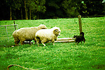 Australia, Working Sheep Dog, Photo: ausmel103.Photo copyright Lee Foster, 510/549-2202, lee@fostertravel.com, www.fostertravel.com