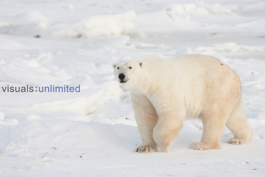 Polar Bear (Ursus maritimus) walking on ice. Churchill, Manitoba, Canada