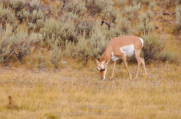 Pronghorn Female, Lava Creek, Yellowstone National Park, Wyoming