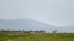 Herd of one of Europe's last wild Reindeer (Rangifer tarandus), Dovrefjell National Park, Norway