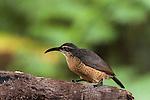 Female Victoria's Riflebird (Ptiloris victoriae) perched on a branch