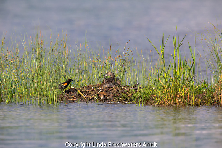 Pied-billed grebe (on nest) and red-winged blackbird